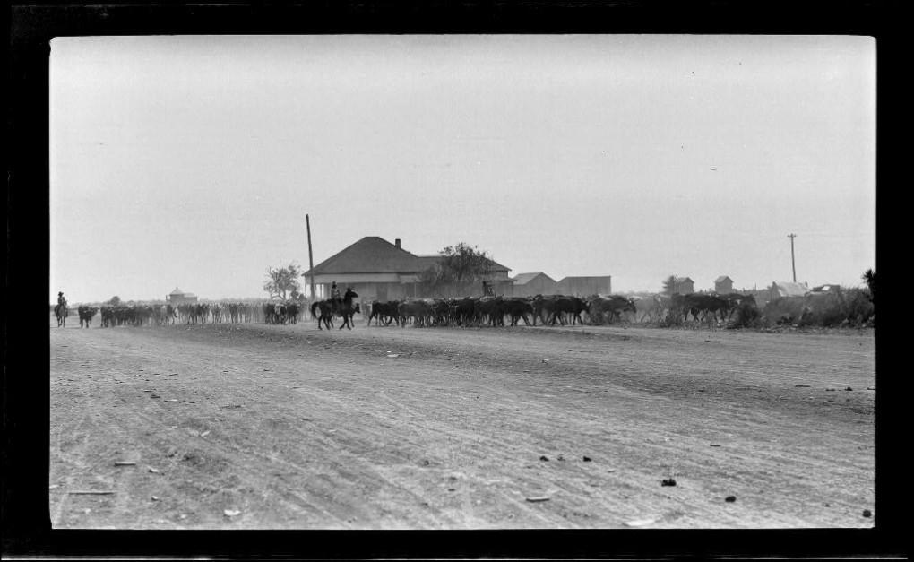 Runyon herding cattle CAH